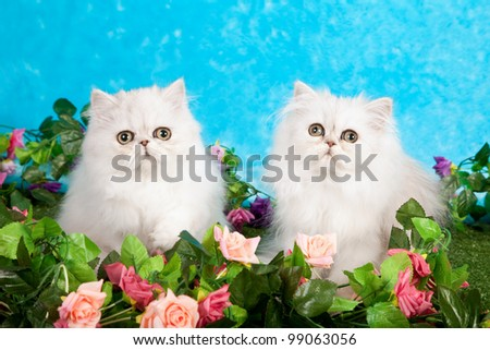 Silver Chinchilla Persian kittens with fake flowers and lawn against blue background - stock photo