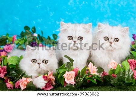 Silver Chinchilla Persian kittens with fake flowers and lawn against blue background