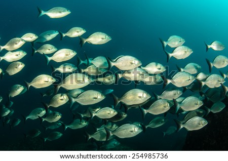 silver fish from the sea of cortez - stock photo
