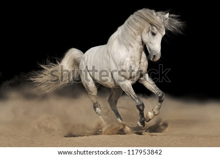 Silver gray Andalusian horse in desert on black background - stock photo