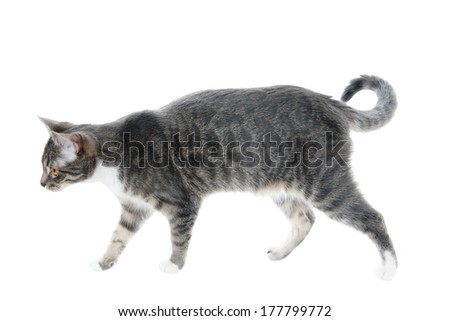 silver grey tabby cat walking, isolated on white background - stock photo