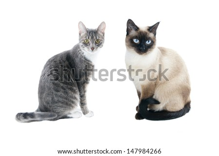 silver grey tabby house cat and seal point siamese cat - stock photo