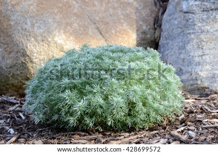 Silver Mound Artemisia a Perennial Plant For Landscaping - stock photo