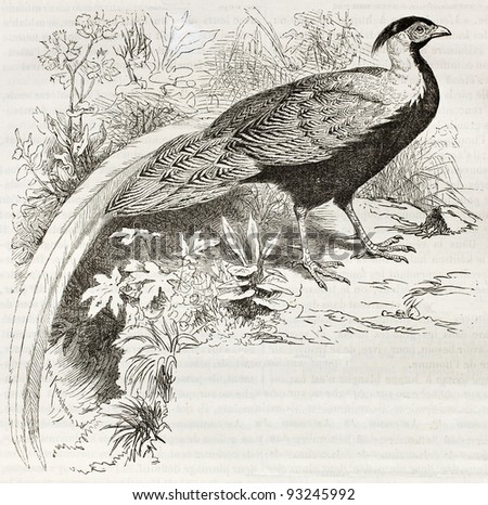 Silver Pheasant old illustration (Lophura Nicthemera). Created by Kretschmer and Schmid, published on Merveilles de la Nature, Bailliere et fils, Paris, ca. 1878 - stock photo