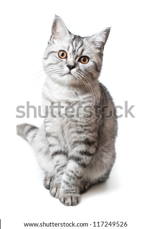 Silver scottish kitten on the white background - stock photo