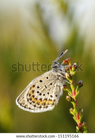 Silver studded blue butterfly Plebejus argus on common heather Calluna vulgaris in Finland.