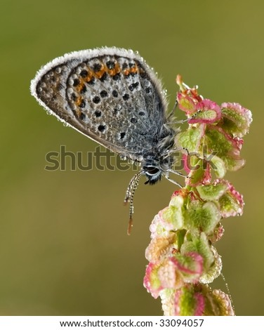 Silver Studded Blue Butterfly with morning dawn