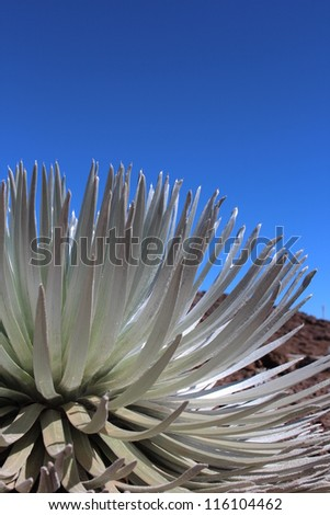 Silver Sword Plant on Haleakala Volcano - stock photo