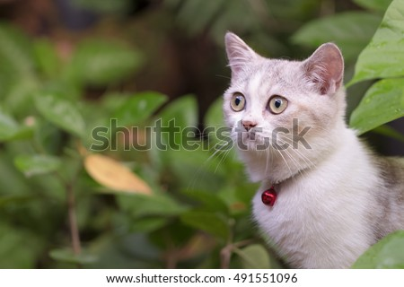 Silver tabby Breed Scottish Fold Cat on green grass in summer