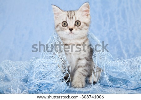 Silver tabby kitten sitting on blue scarf on blue background  - stock photo