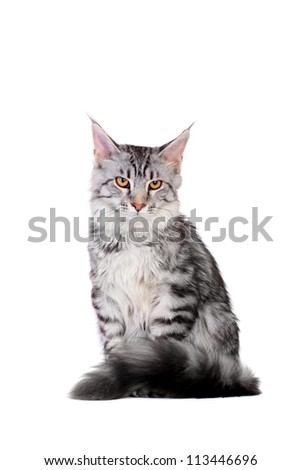Silver tabby maine coon kitten (5 month) of a white background - stock photo