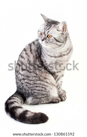 Silver tabby scottish cat on the white background - stock photo