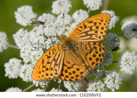 Silver-washed Fritillary (Argynnis paphia), male