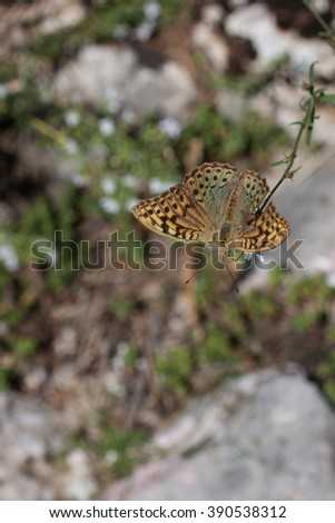 Silver-Washed Fritillary Butterfly Sitting on Flower