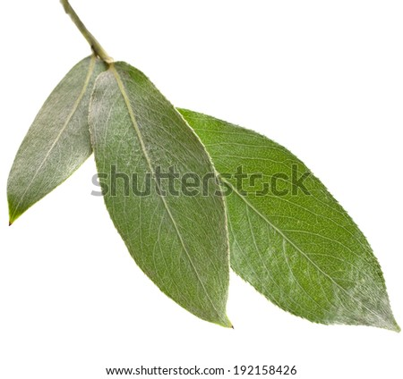 silver weeping willow branch leaves isolated on white background  - stock photo