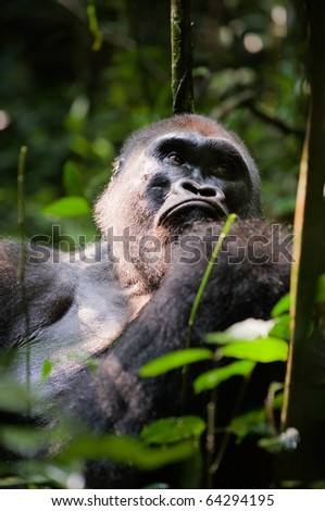 Silverback -  adult male of a gorilla.Western Lowland Gorilla. - stock photo