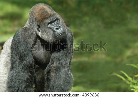 Silverback gorilla in natural green background - stock photo