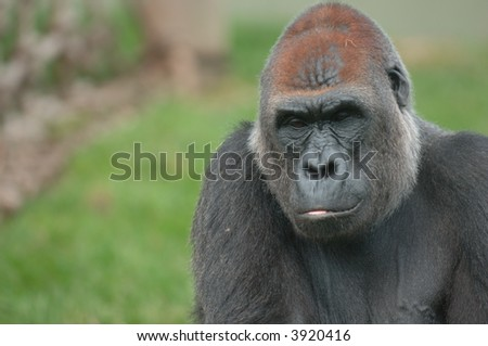 Silverback Gorilla in thoughtful pose - stock photo