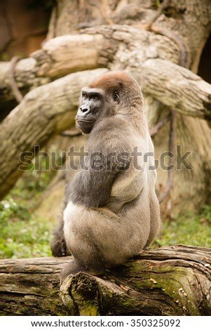 Silverback Gorilla - This is a shot of a big, powerful Silverback Gorilla posing for a picture at the zoo. - stock photo