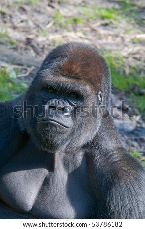 Silverback Lowland Gorilla - stock photo