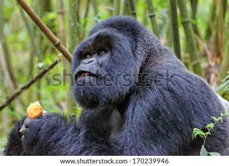Silverback mountain gorilla in rain forest - stock photo