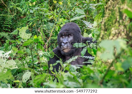 Silverback Mountain gorilla sitting in leaves in the Virunga National Park, Democratic Republic Of Congo.