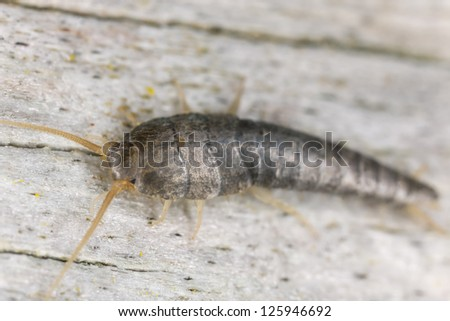 Silverfish sitting on wood, extreme close up with high magnification, focus on eyes - stock photo