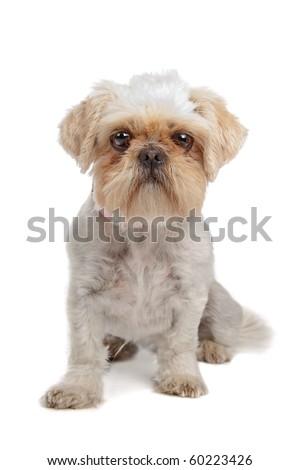 Silvermixed breed dog (shih tzu, pekingese) isolated on white - stock photo