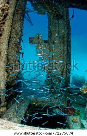 Silversides in a wreck