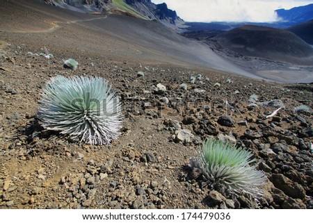 Silversword Plant, Haleakala National Park, Hawaii, USA - stock photo