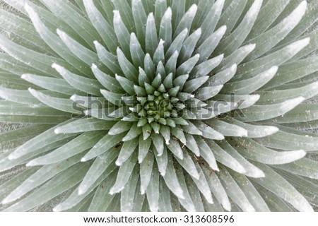 Silversword Symmetry - stock photo