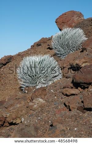 silverswords plant (Argyroxiphium sandwicense) found growing in Haleakala National Park between 6,500 to 10,000 feet in elevation. - stock photo