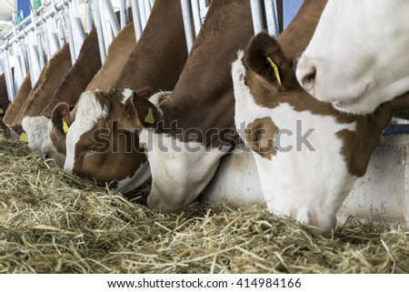 Simmental Cows Feeding