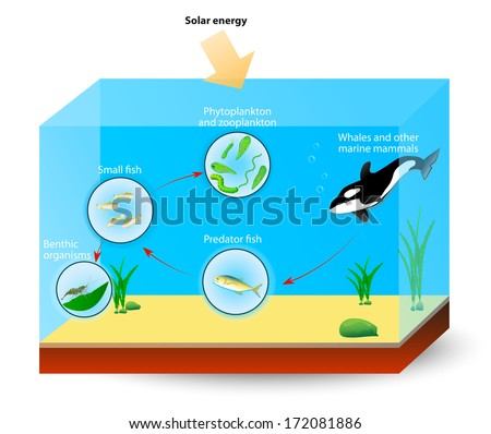 Simple marine food web. The diagram shows the relationships among organisms living in an ocean. producers and consumers. Whales, and other marine mammals are at the top of the food chain.  - stock photo