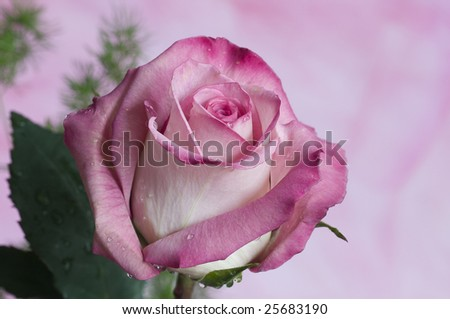 simply rose - stock photo