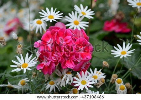 Singapore - May 26, 2016: A group of dark red / purple flowers in full bloom surrounded by white petalled flowers with a yellow sun like center. Some flowers are fully open and others yet to bloom. - stock photo