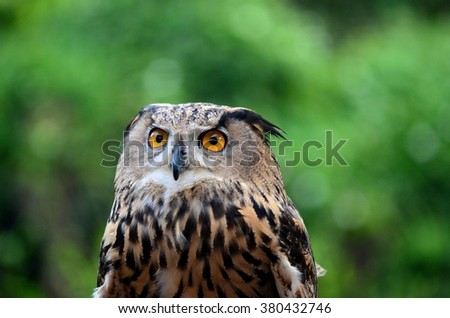 Singapore - September 14, 2014: The Eurasian eagle-owl (Bubo bubo) found in much of Eurasia is one of the largest species of owl, with distinctive orange eyes. Generally, it is a nocturnal predator. - stock photo