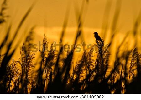 singing bird and sunset Great Reed Warbler / Acrocephalus arundinaceus - stock photo