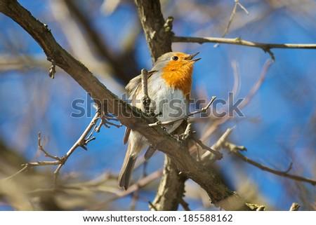 singing european robin - stock photo