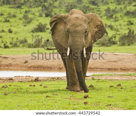 single African elephant standing and eating from short grass next to a water hole in the hot sun - stock photo