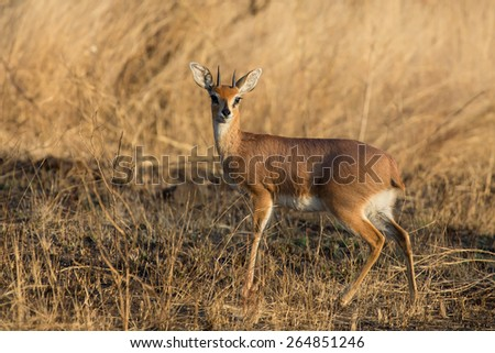Single alert steenbok carefully graze on burnt grass - stock photo
