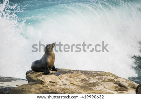 Single arched and wet sea lion sun bathing on a cliff with crashing waves in the background  in La Jolla cove, San Diego, California - stock photo