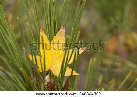 Single autumn leaf caught in a pine tree, surrounded by green needles, morning dew on surface - stock photo