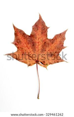 Single autumn leaf, isolated - stock photo