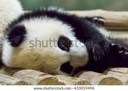 Single baby Giant Panda sleeping at the zoo. - stock photo