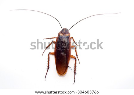 single back cockroach isolate on white background - stock photo