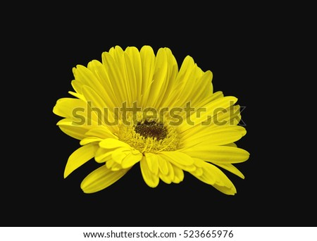 Single beautiful gerbera flower piercing yellow color  on a black background