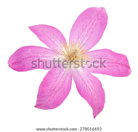 single beautiful pink clematis isolated on white  - stock photo
