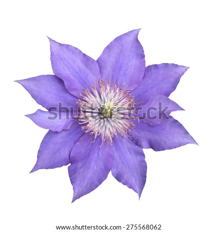 single beautiful purple clematis isolated on white  - stock photo