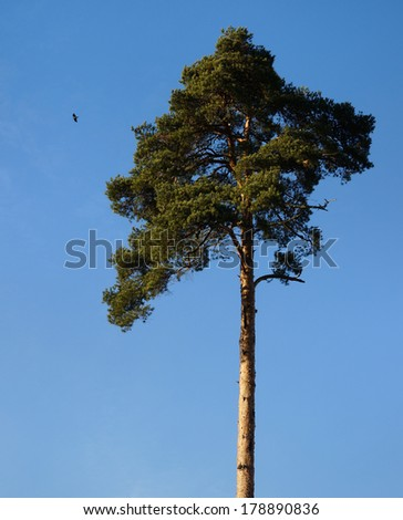 Single beautiful spring pine tree on blue sky background               - stock photo